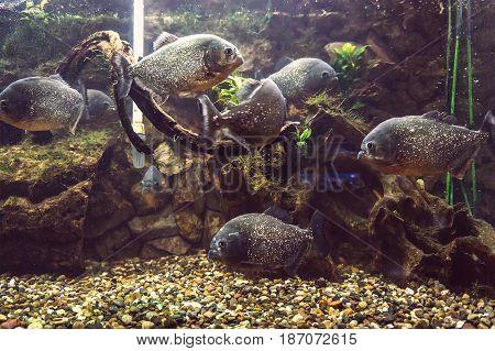 Aquarium With A Lot Of Piranhas