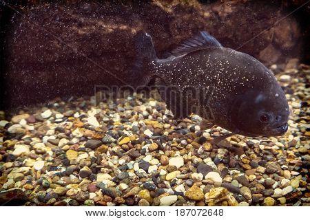 Red Piranha Swimming Underwater