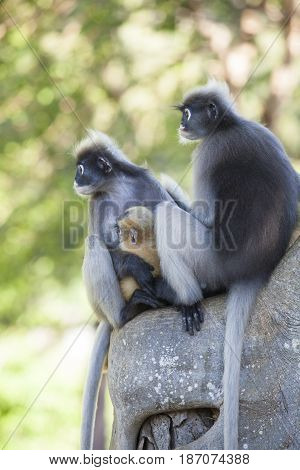 The dusky leaf monkey spectacled langur or spectacled leaf monkey (Trachypithecus obscurus)A mother Dusky Leaf monkey and its yellow baby.