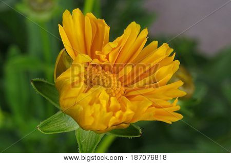 Yellow Daisy Chrysanthemum Asteraceae flower in house garden