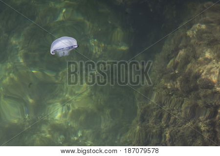 The Beautiful Jellyfish Floating In Sea Water
