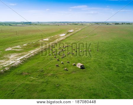 Aerial view of cows herd grazing on pasture field drone point of view