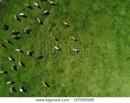 Aerial view of cows herd grazing on pasture field top view drone pov