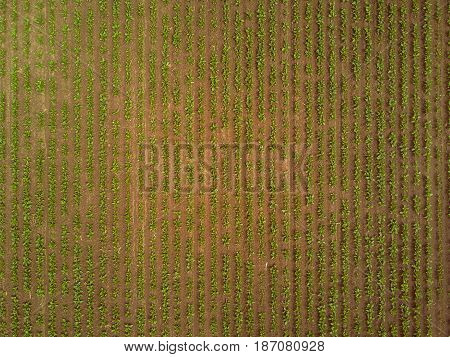 Rows of sugar beet plantation in cultivated field viewed from drone point of view