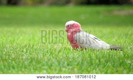 Pink and white Galah bird grazing on Australian bushland grass