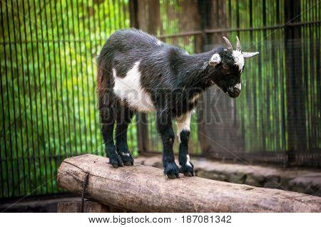 Cute Black And White Baby Goat