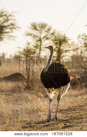 Ostrichin Kruger national park, South Africa ; Specie Struthio camelus family of Struthionidae