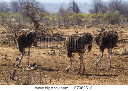 Ostrich in Kruger national park, South Africa ; Specie Struthio camelus family of Struthionidae