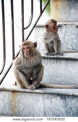 Pair of small funny monkeys sitting on entrance house staircase