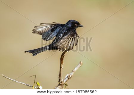 Fork-tailed drongo in Kruger national park, South Africa  ; Specie Dicrurus adsimilis family of Dicruridae