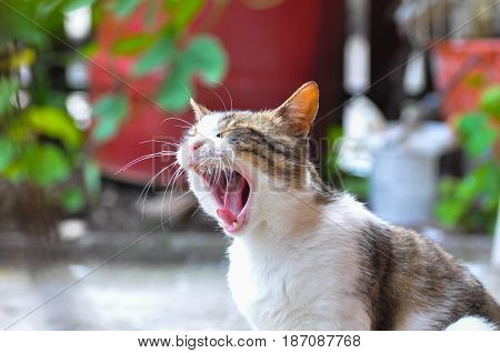 Sleepy cat yawning outside. Domestic cat wake up and yawn in back yard