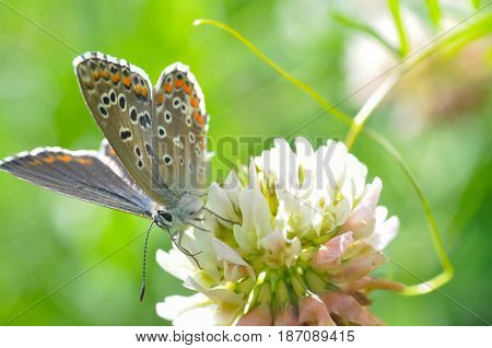 Common Blue or Polyommatus icarus, Small blue butterfly on wild flowers, natural habitat