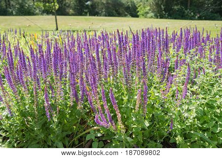 Blooming Salvia flowers on a sunny day