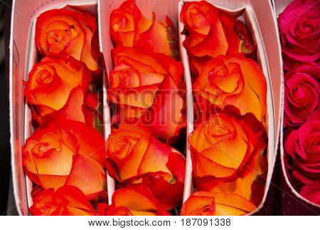 Close up of a bunch of beautiful dozens of blossoming orange rose bouquets.
