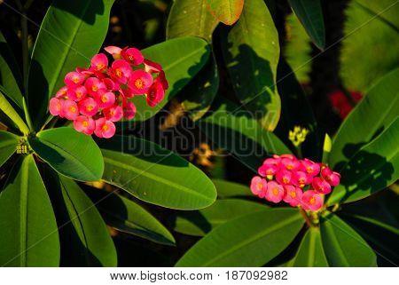 Euphorbia Milli, Crown Of Thorns, Christ Thorn