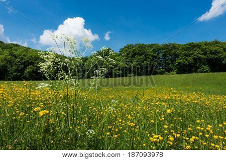 Meadow In Spring yellow kingcup in front of landscape