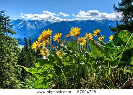 Arnica in alpine meadows. Sauer's Mountain. Central Cascade Mountains. Leavenworth. Seattle. Washington. The United States.