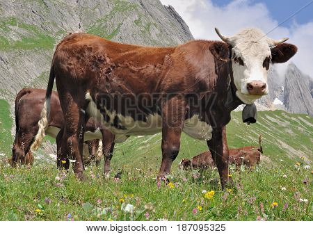 dairy brown cow in pasture in summer