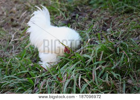 Unusual white chicken Thailand south east asia Unusual fluffy white chicken Thailand south east asia