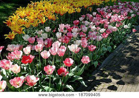 Flowerbed of tulips in the Royal Keukenhof Park