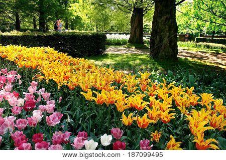 KEUKENHOF HOLLAND - MAY 14 2017: Flower bed of tulips in the shade of trees in the Royal Keukenhof Park