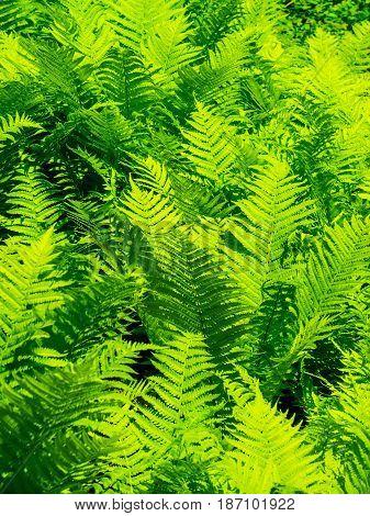 Woodland green background green ferns detail nature