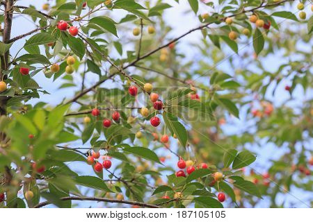 Red Cherry And White Sweet Cherry On A Branch With Green Leaves