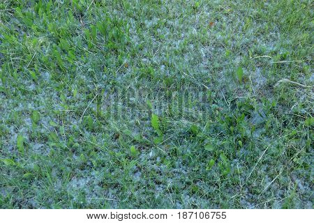 Green grass mixed with a poplar fluff. Abstract nature background.