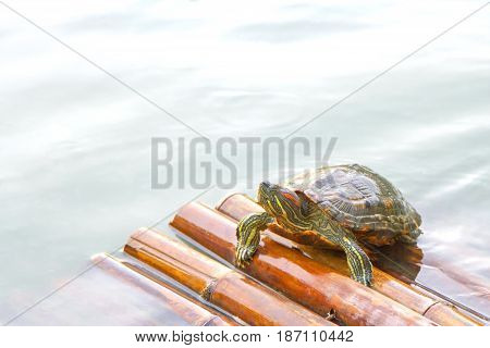 One turtle on bamboo raft in water
