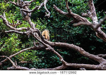 Golden fure baby and mother dusky leaf monkey Spectacled Langur in Thailand