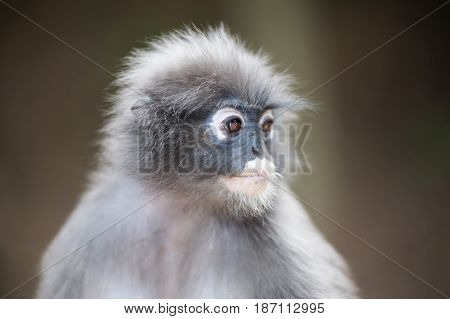 Close up dusky leaf monkey Spectacled Langur in Thailand