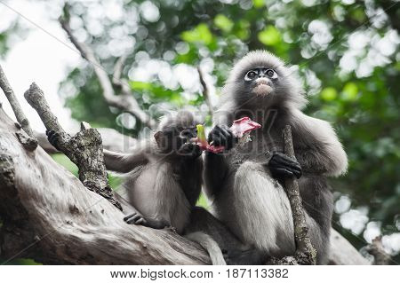 Baby and mother dusky leaf monkey Spectacled Langur in Thailand