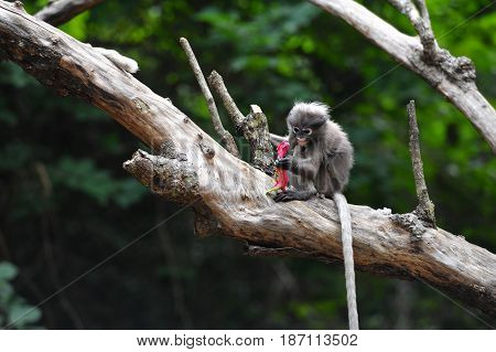 Baby dusky leaf monkey Spectacled Langur in Thailand