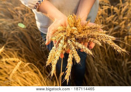 the woman in a national white shirt holds in hand the ripened wheat ears on a gold field background. harvest, agriculture, agronomics, food, production, eco concept.