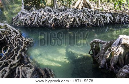 The mangrove forest in the emerald swamp or the emerald pool call