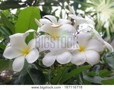 White Plumeria Flower in raining in Beautiful colour