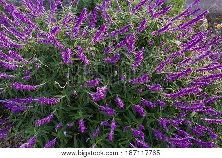 Colorful Mexican bush sage flowers in purple shade in the garden in Tasmania, Australia (Salvia leucantha)