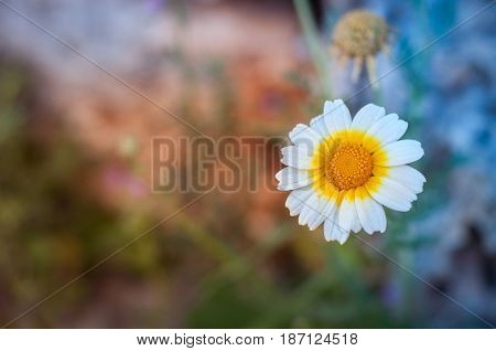 Spring daisy on a  beautiful colourful background