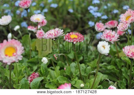 beautiful pink terry garden daisy flowers in full spring bloom