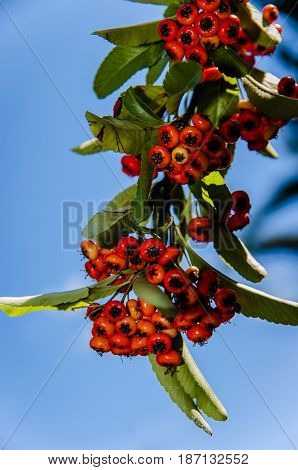 Berries of red mountain ash against the blue sky