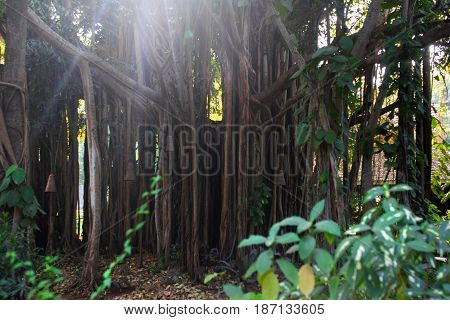 The great Banyan -- tree with the world's largest area of the crown. Located in the Indian Botanical garden in Heure. Bunyan, or, as it is called, tree-forest, has not one but thousands of barrels.