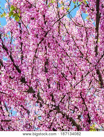 Violet Tree Flowers Of Cercis Siliquastrum,  Judas Tree Outdoor