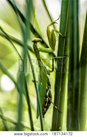 A green mantis on a grass stalk. Tropical green insect.