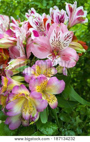 bouquet of flowers. Alstroemeria. Bouquet of flowers Alstroemeria. Flowers Alstroemeria