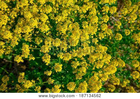 Natural background of yellow flowers of rape. Yellow flowers bush of rape was shot from above