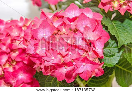 Red And Pink Hydrangea Flowers, Hortensia Close Up Isolated