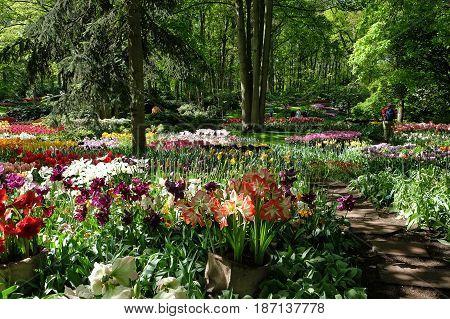 Amaryllis and tulips in the Royal Keukenhof Park