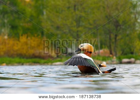 Beautiful redhead duck takes off from water