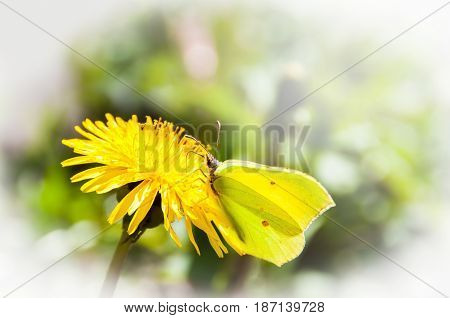 Cabbage yellow butterfly on the dandelion flower in spring garden. Selected focus.