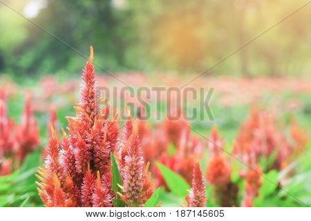 sweet dreamy and soft focus blooming of Red Celosia argentea in garden